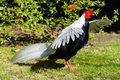 Silver Pheasant (Lophura Nycthemera) Royalty Free Stock Photo