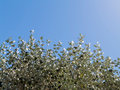 Silver poplar tree top view against clear blue sky Stock Photos