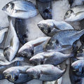 Silver sea bream fish Royalty Free Stock Photo