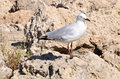 Silver Sea Gull Royalty Free Stock Photo