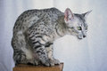 Silver spotted Egyptian Mau on a pedestal Royalty Free Stock Photo