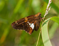 Silver-spotted Skipper Royalty Free Stock Photo
