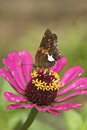Silver Spotted Skipper on Zinnia Royalty Free Stock Photo
