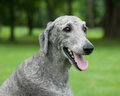 Silver standard poodle a young male sits outside in the summer grass Stock Photo