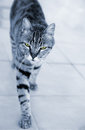 Silver striped cat approaching walking towards the viewer with threatening or serious look with natural place for text Royalty Free Stock Photography