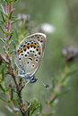 Silver studded blue butterfly plebejus argus on bell heather Royalty Free Stock Image