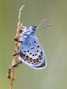 Silver Studded Blue Butterfly in symbiosis with red ant Royalty Free Stock Photo