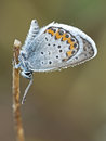 Silver-studded blue & x28;Plebejus argus& x29; male butterfly Royalty Free Stock Photo