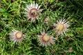Silver thistles alpine flora
