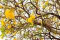 Silver trumpet tree tabebuia aurea of gold paraguayan Stock Images
