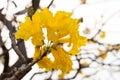 Silver trumpet tree tabebuia aurea of gold paraguayan Stock Photography