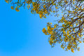 Silver trumpet tree tree of gold paraguayan on blue sky background Royalty Free Stock Photo