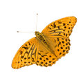 Silver Washed Fritillary Royalty Free Stock Photo