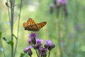 Silver washed fritillary butterfly Royalty Free Stock Photo