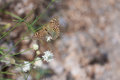 Silver-Washed Fritillary Butterfly with Broken Wing Royalty Free Stock Photo