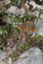 Silver-Washed Fritillary Butterfly Sitting on Flower Royalty Free Stock Photo
