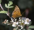 Silver washed fritillary on plant feeding Stock Photo