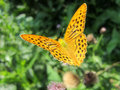 Silver washed fritillary on a thistle flower Royalty Free Stock Photography
