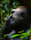 Silverback. Royalty Free Stock Photos