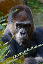Silverback Gorilla Royalty Free Stock Photo