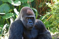 Silverback Gorilla Royalty Free Stock Photo