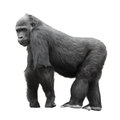 Silverback gorilla isolated on white Royalty Free Stock Photo