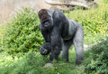 Silverback gorilla looking at the camera dangerous Stock Photo