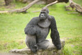 Silverback gorilla a relaxed and thoughtful Royalty Free Stock Image