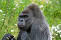 Silverback Gorilla sideways look Stock Images