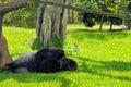 Silverback lowland gorilla relaxing Royalty Free Stock Photo
