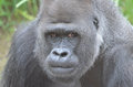 Silverback stare a large gorilla stares at the camera Stock Image