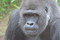 Silverback stare a large gorilla stares at the camera Royalty Free Stock Photos