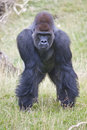Silverback western lowland gorilla a standing alone Royalty Free Stock Photos