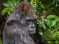 Silverback western lowland gorilla the is a subspecies of the that lives in montane Stock Photos