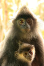 Silvered leaf monkey with a baby, Borneo Royalty Free Stock Photo