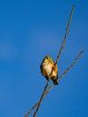 Silvereye songbird @ Omana regional park Royalty Free Stock Photo
