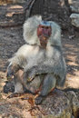 The silvery baboon tenderly smiles to spectators Royalty Free Stock Images