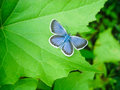 Silvery blue butterfly beautiful glaucopsyche lygdamus on a green leaf Royalty Free Stock Image
