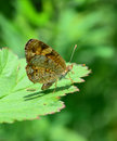 Silvery checkerspot butterfly a resting on a blackberry leaf with probiscus partially extended Stock Images