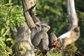 Silvery gibbon sitting on the tree Stock Photo