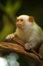 Silvery marmoset Royalty Free Stock Photo