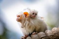 Silvery marmosets mother and baby Stock Photo