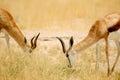 Simetry Springbok Royalty Free Stock Photo
