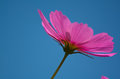 Simple purple cosmea flower,background is blurred Royalty Free Stock Photo