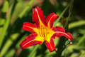 Simple summer blooming red lily Stock Images