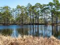 Simple swamp landscape with swamp grass and moss in the foreground, small swamp pond and swamp pines Royalty Free Stock Photo