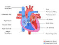 Simplified structure of heart illustration a human Stock Images