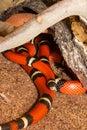 Sinaloan Milk Snake in captivity Royalty Free Stock Photo