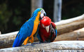 Singapore colored parrots beautiful shot of Royalty Free Stock Image
