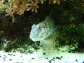 Singapore Shrimp Goby Stock Photo